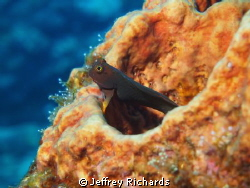 This blenny picture was captured in Dominica in November ... by Jeffrey Richards 
